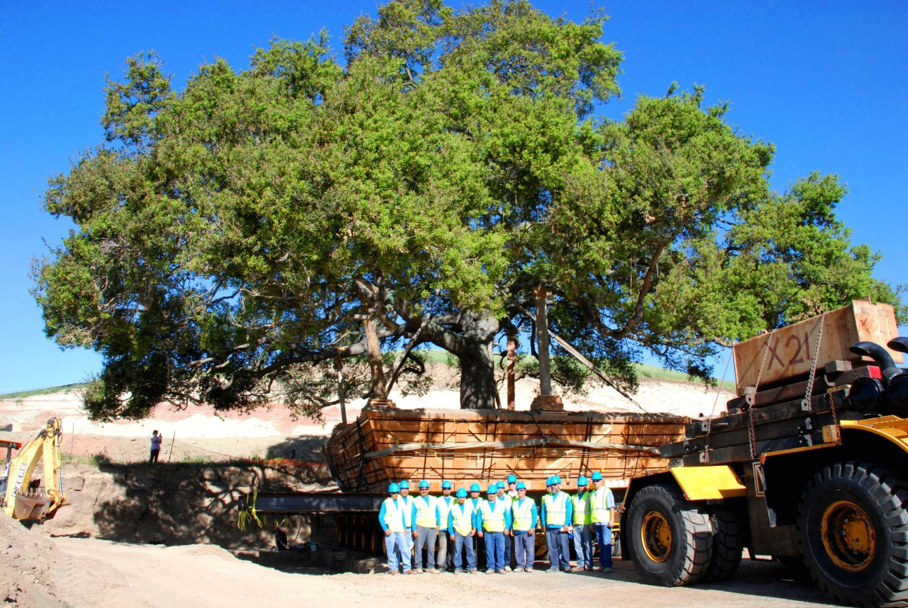 BrightView Moving California Live Oak Tree