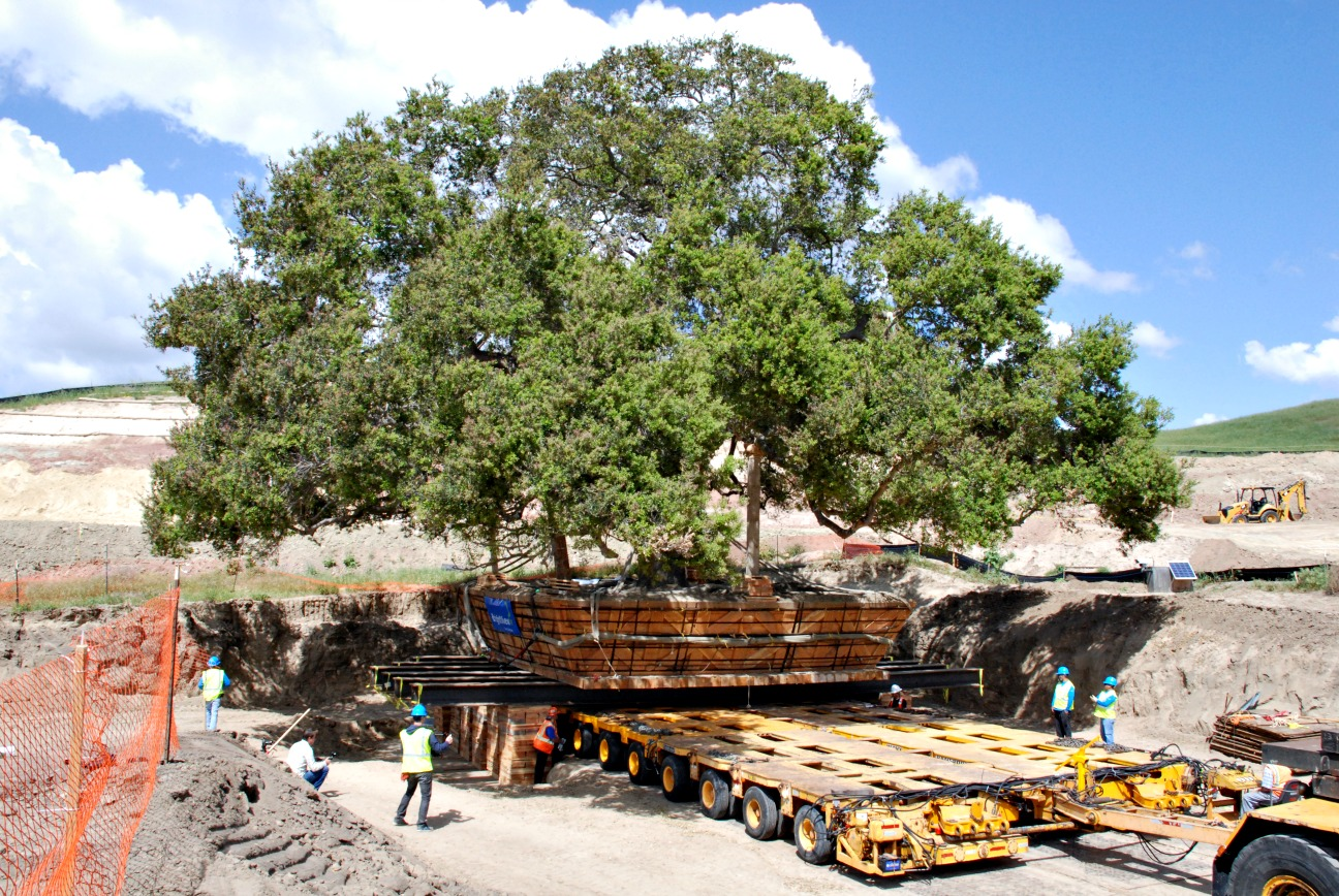 California Live Oak tree relocation