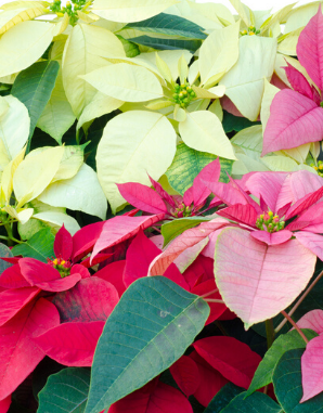 Little Known Facts about Poinsettias