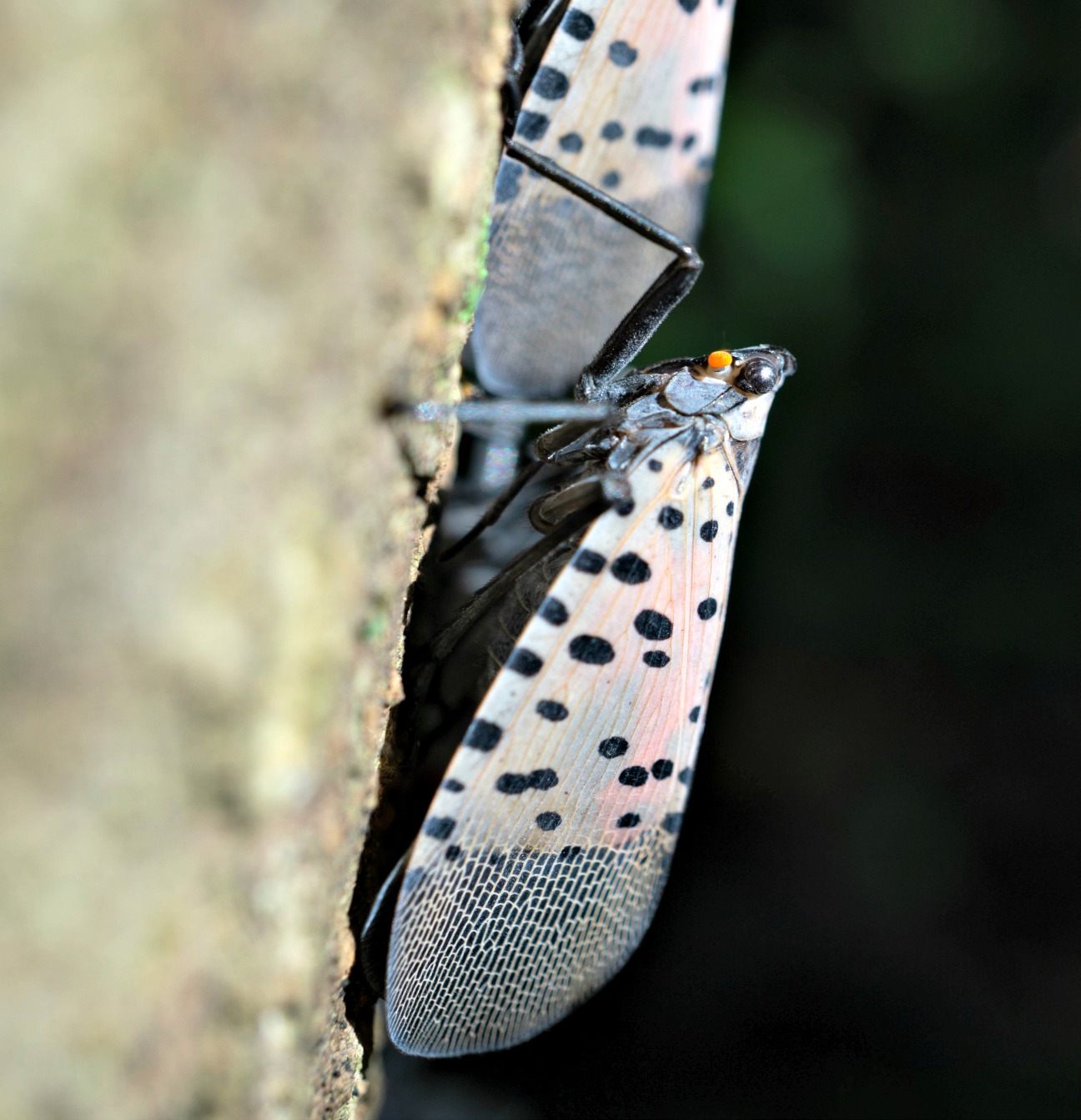 Spotted Lanternfly Reaches Pennsylvania