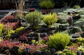 Dragons Blood Sedum A Colorful And Drought Tolerant ...