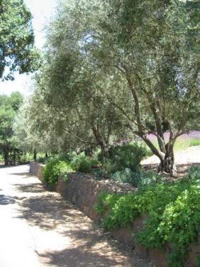 Myoporum And Olive Trees