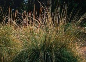 Southern California Trees Deer Gr Muhlenbergia Rigens Is A Striking And Water Efficient Way To Add Shape Landscape