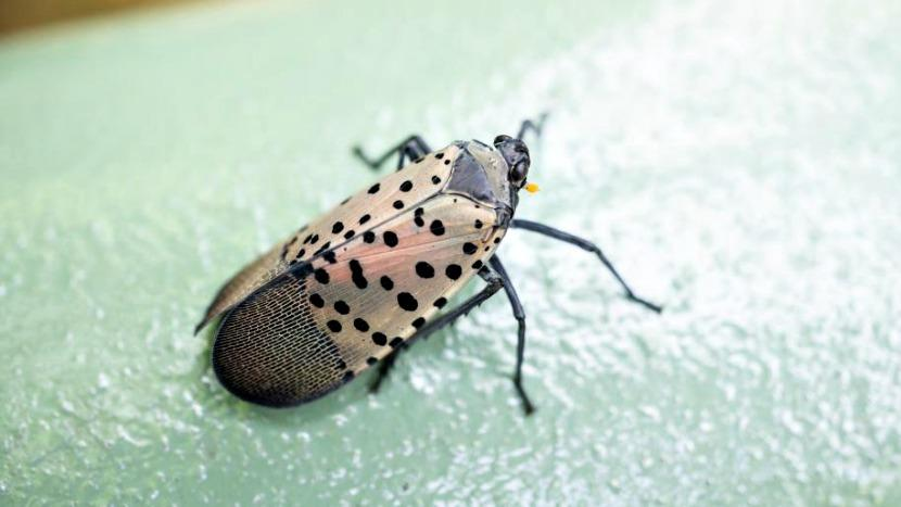 Spotted Lanternfly Invades PA