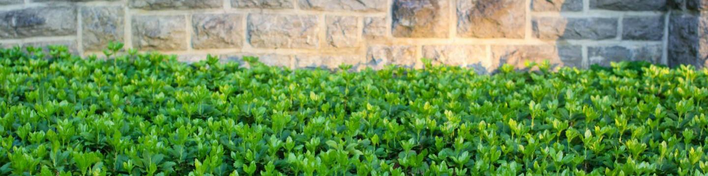 Japanese Spurge ground cover