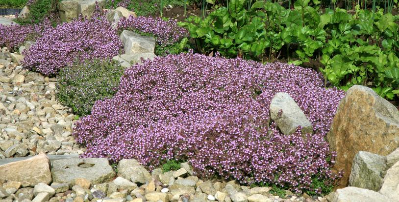Breckland Thyme Drought Tolerant